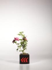 Гибискус Розовый Шифон / Пинк Шифон в контейнере р9