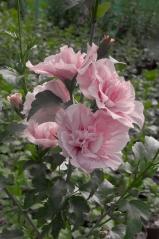 Гибискус садовый Розовый Шифон