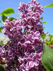 Lilac Сеншейшн
