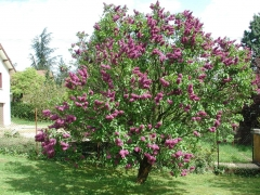 Lilac Sensation