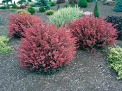 Berberis Тhunbergii Red Dream