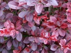 Berberis Red Dream