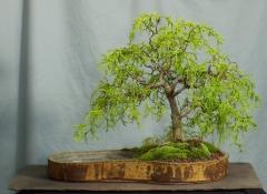 Cypress карликовый Филифера Нана