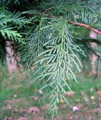 Cypress Glauca