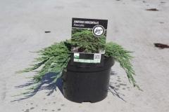 Juniperus Панкейк контейнер 3л