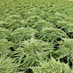 Juniperus horizontalis Pancake