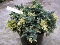 Можжевельник чешуйчатый Флореант <br>Ялівець лускатий Флореант <br>Juniperus squamata Floreant
