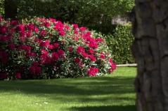 Рододендрон Нова Зембла (красный, вечнозелёный)