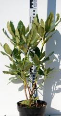 Рододендрон Nova Zembla 3роки