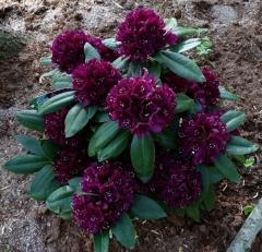 Rhododendron Pollarnight