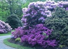 Рододендрон Поларнахт (фиолетовый, вечнозелёный)