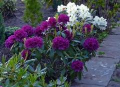 Rhododendron Pollarnight (purple, evergreen)