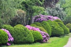 Рододендрон вечнозелёный Поларнахт