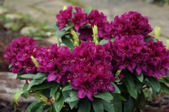 Rhododendron hybridum Pollarnight