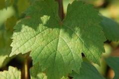 Виноград плодовый Йоханнитер листва