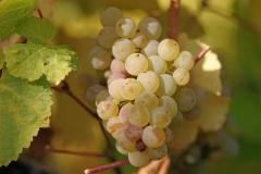 Виноград плодовий Йоханнітер