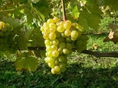 Vitis vinifera Johanniter