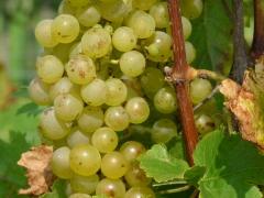 Виноград винний Йоханнітер