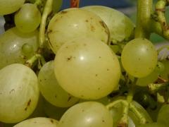 Vitis vinifera Johanniter (early, fruit)