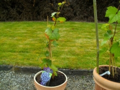 Vitis early Marechal Foch
