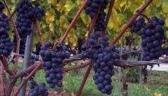 Виноград Маршал Фош (ранній, плодовий)