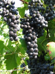 Grapes wine Regent (later, fruit)