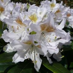 Рододендрон Каннингемс Уайт <br>Рододендрон Каннінгемс Уайт <br>Rhododendron Cunningham`s White