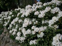 Рододендрон Каннингемс Уайт (белый, вечнозелёный)