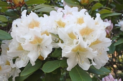 Рододендрон гибридный Cunningham`s White