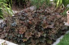 Гейхера мелкоцветковая Палас Пурпл (красная, вечнозелёная)