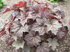 Гейхера дрібноквіткова Палас Пурпл (червона, вічнозелена)