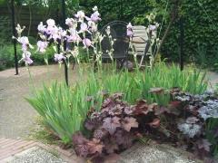Гейхера мелкоцветковая Palace Purple