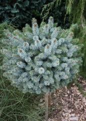 Ель ситхинская Миджат <br>Picea sitchensis Midget <br>Ялина сітхінська Міджат