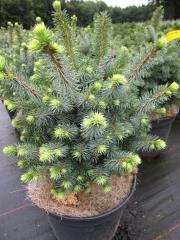 Picea Midget