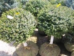 Picea omorika Nana (shtambe 60 / 80см)