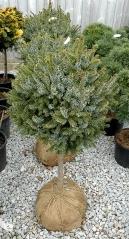Picea Нана на штамбе