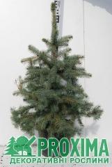 Рождественская ель Маджестик Блю