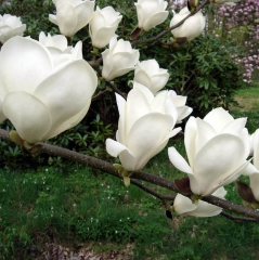 Магнолия суланжа Альба Суперба <br>Magnolia soulangeana Alba Superba <br>Магнолія суланжа Альба Суперба