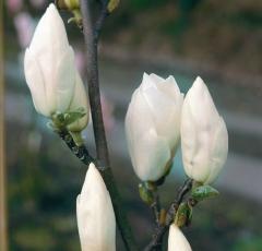 Magnolia Альба Суперба