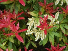 Pieris японский Flame of the Forest