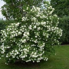 Viburnum opulus Roseum / Snowball (white ball)