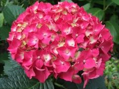 Гортензия крупнолистная Стил Пинк (розовая) <br>Гортензія крупнолиста Стіл Пінк (рожева) <br>Hydrangea macrophylla Style Pink (pink)