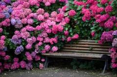 Гортензия крупнолистная Стил Пинк (розовая)