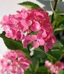 Hydrangea macrophylla Style Pink