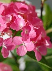 Гортензія крупнолиста Style Pink