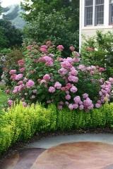 Гортензія крупнолиста Стіл Пінк (рожева)