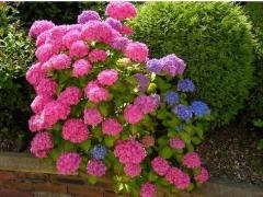Hydrangea macrophylla Style Pink (pink)