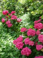 Hydrangea Style Pink