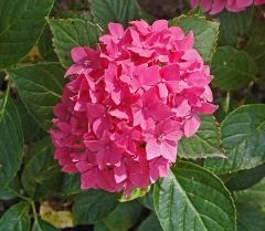 Гортензия Розовый Стиль