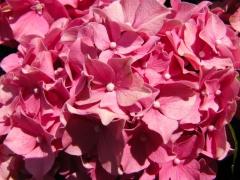 Гортензия Стиль Розовый